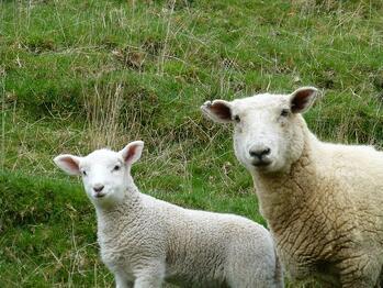 Lift lamb performance