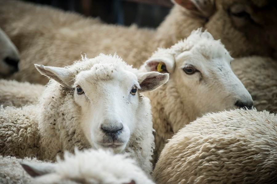 Taratahi ewes: selected for bounce-back ability